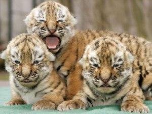 e10fa114eb8b5ec3_tigers